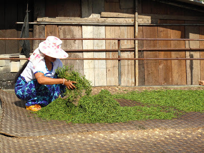 Spreading puer leaves out to sun dry in Jingmai