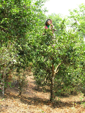 Tea picker in the canopy - Spring 2012