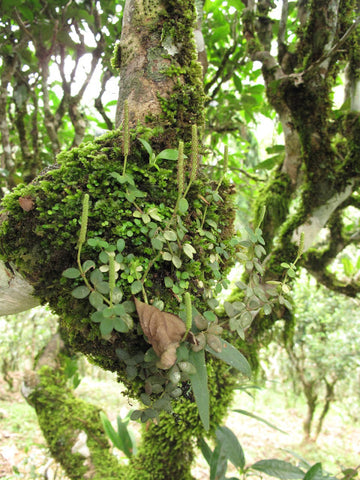 Epiphytes growing on tea tree in YouLe