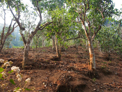 Ploughed Bulang tea garden, showing signs of erosion and exposed roots