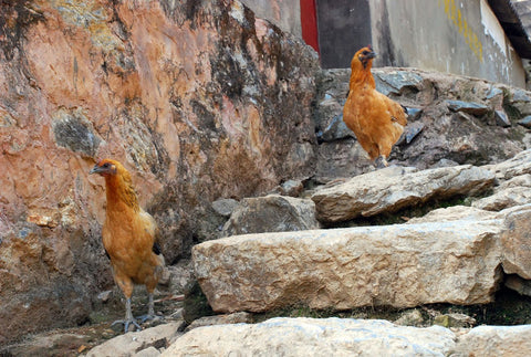 Velociraptors in Yiwu ancient town 易武古镇
