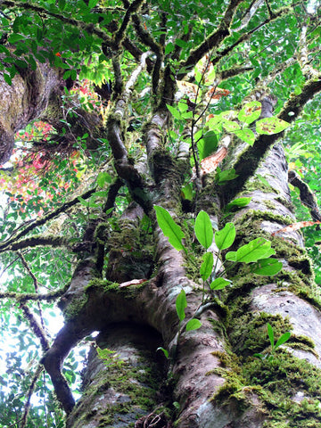 View into the canopy of the world's oldest tea tree, note the abundant epiphytes!