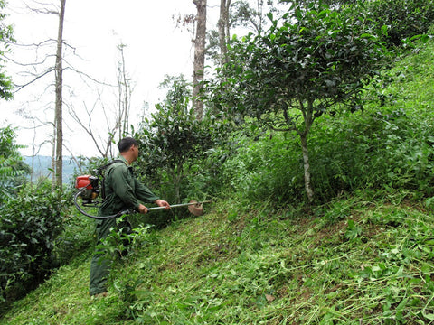 Our Luo Shui Dong supplier cutting the grass in his tea garden