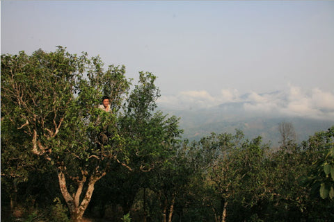 Picking tea high in the trees, above the clouds