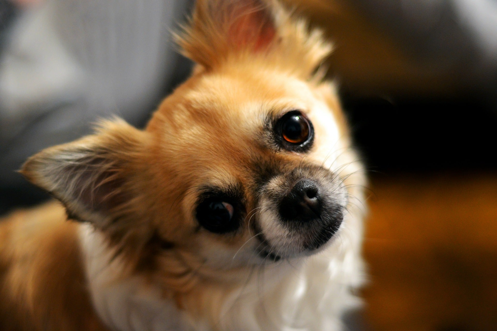 Chihuahua Poil Long Intelligent