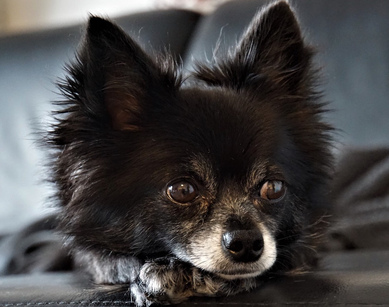 Chihuahua Poil Long Adulte
