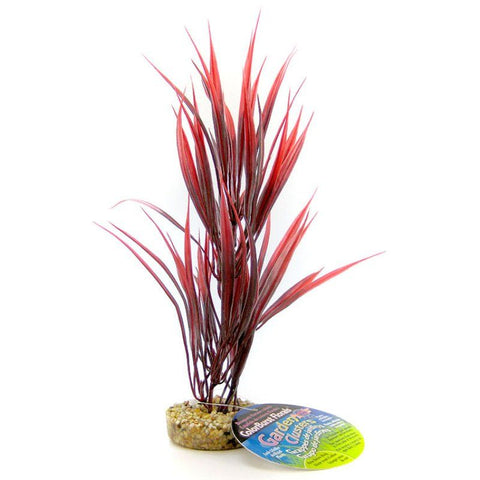 Blue Ribbon Sword Plant with Gravel Base - Red
