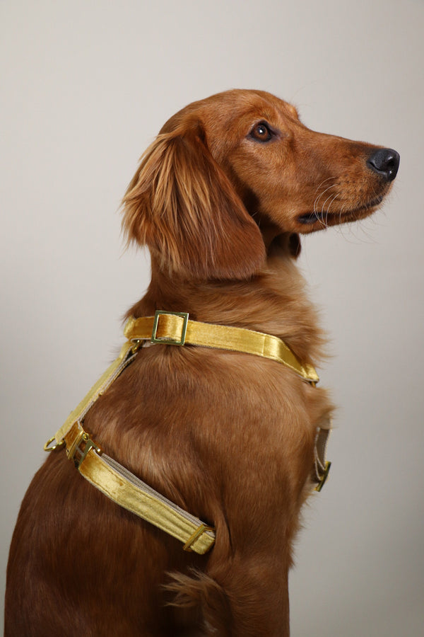 GOLD dog harness