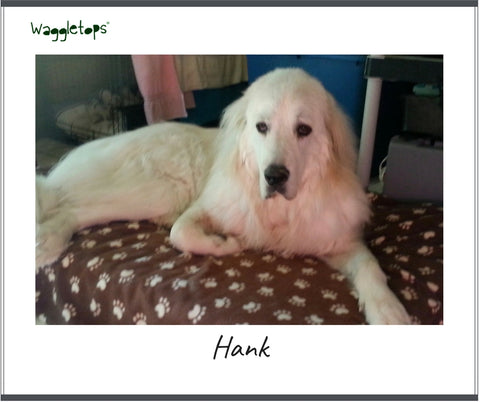 Hank, a great white Pyrenees dog sitting on a brown fleece Waggletop dog bed fitted sheet with white pawprints.