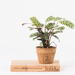 Calathea houseplant for improved air quality