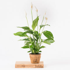 peace lily as an air purifying house plant
