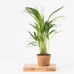 Dypsis lutescens air purifying plant