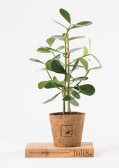 Clusia rosea plant in compostable pot