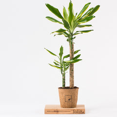 Dracaena house plant in pot can help improve air quality