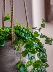 gift a plant that comes in a pot such as this hanging plant pot for Ficus Primila