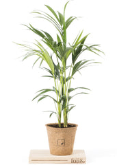 kentia palm makes the perfect plant for conservatories