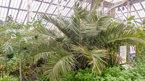 large plant inside conservatory or greenhouse at KEW gardens