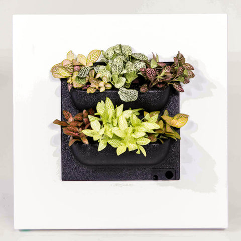 living picture with fittonia mix