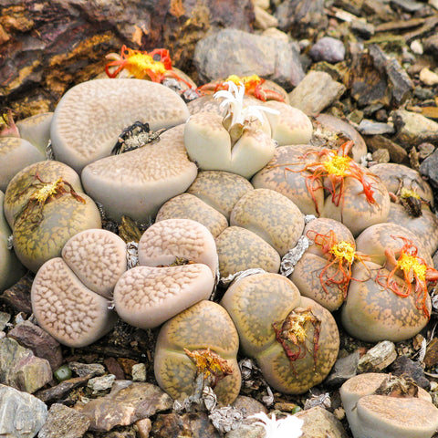 Lithops (living stones) - tiny succulents from Southern Africa