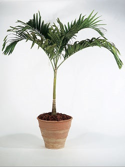palms with trunks cannot be pruned