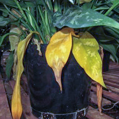 houseplant with yellow leaves