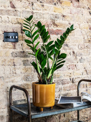 gift a plant with a bright coloured pot such as this ZZ plant or Zamioculcas houseplant
