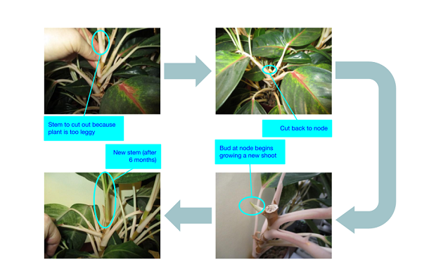 When cutting back to a node of a plant the pruning cut is referred to as a heading back cut.