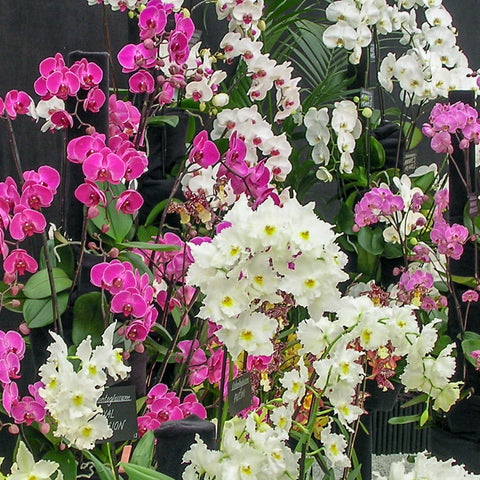 orchid display at Chelsea Flower Show
