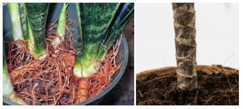 Stems of Snake Plant and Dragon Tree