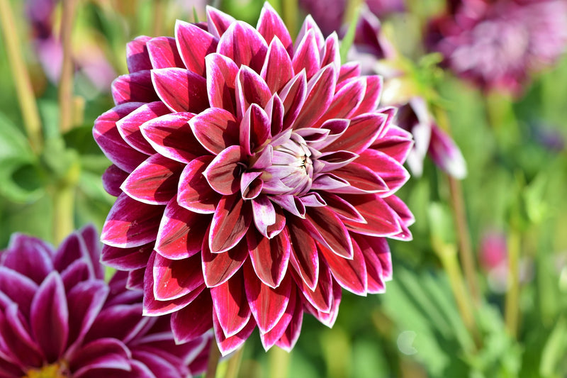 GETTING DAHLIAS THROUGH WINTER