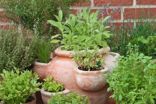 SOWING AND GROWING ANNUAL HERBS