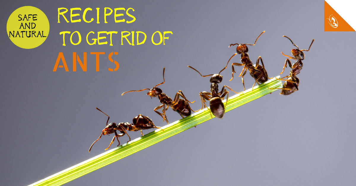 Safe and Natural Recipes to Get Rid of Ants