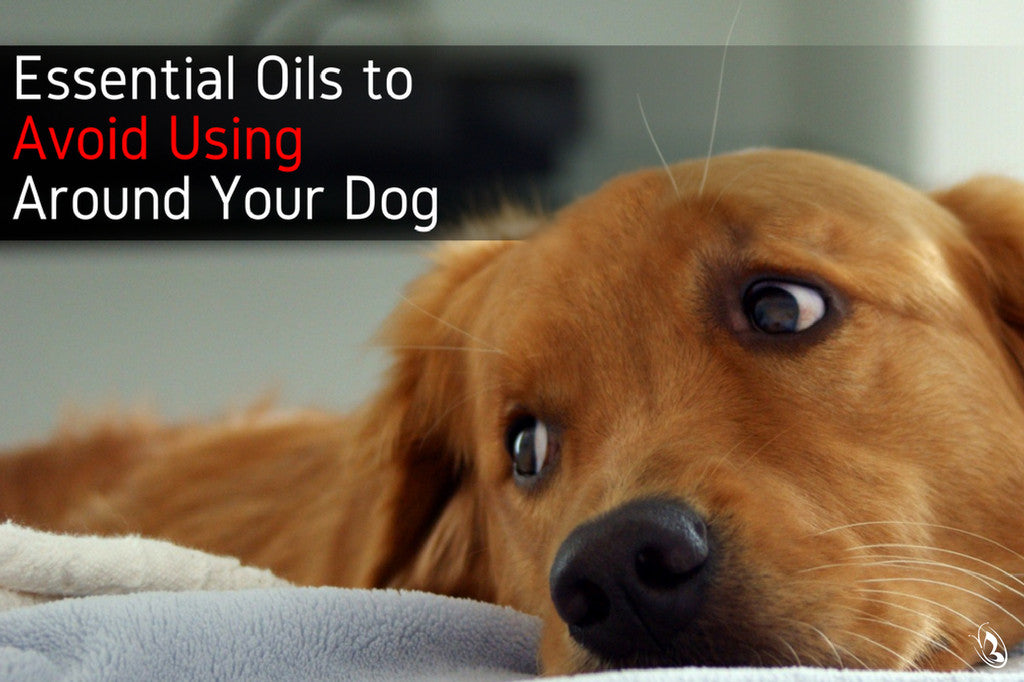 Essential Oils to Avoid Using Around Your Dog