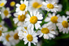 Chamomile Essential Oil 100% Pure