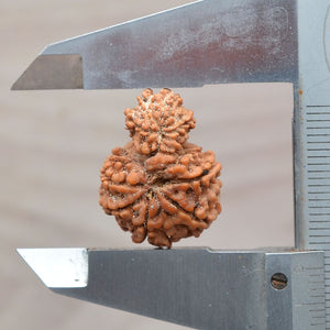 Certified Natural  Garbh Gauri Rudraksha