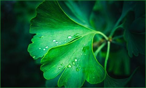 What is Ginkgo Biloba good for