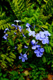 Embeleso Blue Plumbago  Embeleso: Santo Products