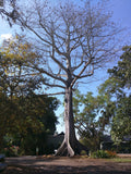 Ceiba Pentandra (Kapok Tree) Araba: Santo Products