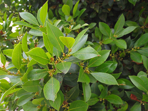 Bay Laurel Laurel de cocinar Laurus nobilis: 2 oz Santo Products