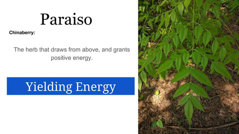 Paraiso [ChinaBerry tree]