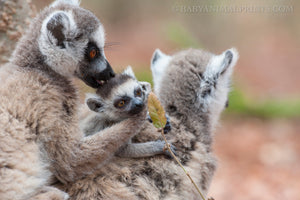 October is for Ring-Tailed Lemurs