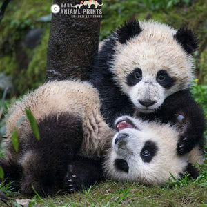 10 Fun Facts about Giant Pandas