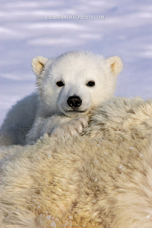Polar bear cub - climate change