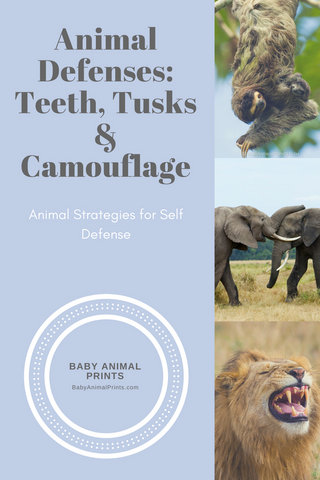 Animal Defenses: Teeth, Tusks and Camouflage by BabyAnimalPrints.com