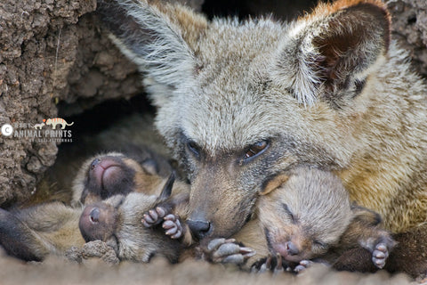 Bat Eared Fox with cubs