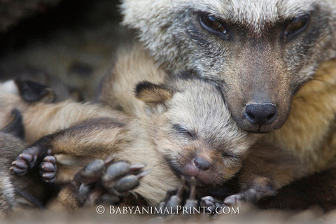 Bat Eared Fox mother and kit