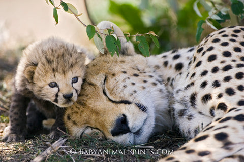 Baby and mom cheetah - Purchase in September and 50% of the retail price will be donated to CCF