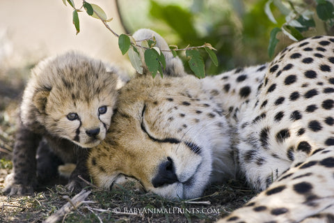 Ideas to connect kids with nature - cheetah cub with mother