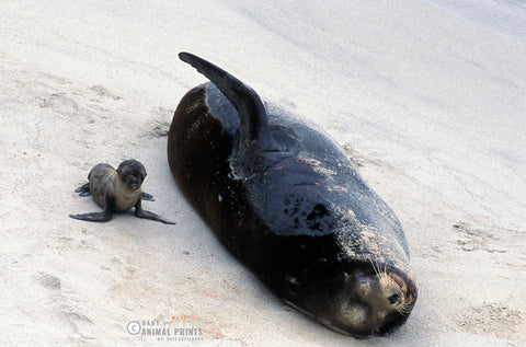 sea lion male and pup