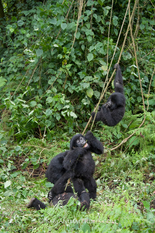 Mountain Gorillas - apes